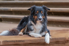 On the stairs (Flemming Andersen) Tags: stairs dog bordercollie yatzy hund animal dresden saxony germany de