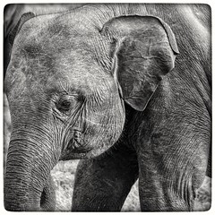 Asian elephant in Sri Lanka (dik34) Tags: asianelephant elephant travel srilanka blackandwhite