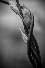 ..with your arms around me I am invincible.. (dawn.tranter) Tags: dawntranter macromondays twistedplant monochrome blackandwhite stems entwined twisted plants garden picktwo