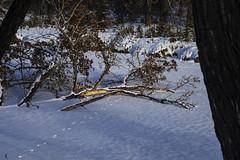 Fallen Tree (Jacques P Raymond) Tags: fallentree frozenpond winter snow inglewoodbirdsanctuary calgary alberta voigtlander90mmf35apolantharslii