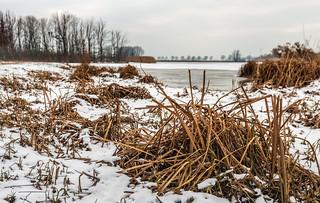 Broken reed stalks - Geknakte rietstengels