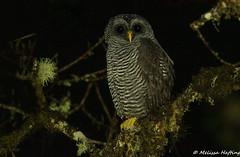 San Isidro Owl (Mystery Owl) (Ciccaba sp. nov. [undescribed form]) - Cosanga, EC (bcbirdergirl) Tags: owl sanisidroowl owling owls mysteryowl ecuador cosanga napo cabanassanisidro raptor birdofprey strigidae ciccabaundescribedform ciccabaspnov