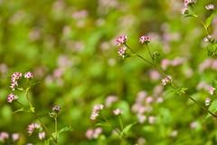 ミゾソバ Persicaria thunbergii (takapata) Tags: sony sel90m28g ilce7m2 macro nature flower