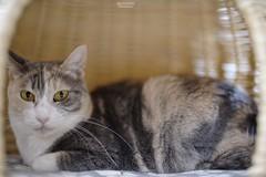 A7R3__DSC2138_DxO (Bazoka+Cynthia) Tags: pupu 小婆 新北市 樹林區 貓 cat
