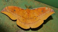 110mm wide emperor moth Syntherata janetta (White, 1843), Saturniidae Airlie Beach rainforest P1100622 (Steve & Alison1) Tags: 110mm wide emperor moth syntherata janetta white 1843 saturniidae airlie beach rainforest