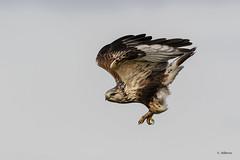 Rough-legged Hawk / Buse pattue (shimmer5641) Tags: buteolagopus roughleggedhawk busepattue roughleggedhawklightmorph busardocalzado roughleggedbuzzard raptor birdsofprey birdsofbritishcolumbia birdsofnorthamerica