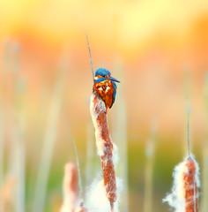 1S9A4707 (saundersfay) Tags: kingfisher bird sunset autumn reeds