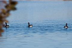 Winter Geese (katyearley) Tags: three birds blur bokeh waves blue water wild animals geese