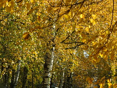 trees in gold (cloversun19) Tags: gold rain animal field grass landscape branches leafs foliage sky russia russian spb tree walking country holiday holidays park garden dream dreams positive forest happy view grey legend fairytale fir firtree birch village evening romantic october september car road street blue maple leaves town city light sun yellow autumn trees leaf