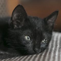 micio (Pioppo67) Tags: canon 80d gatto cat occhi eyes sigma105