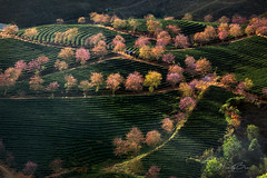 _U1H6224.1218 Bản Khoang.Ô Qúy Hồ.Sapa.Lào Cai (HUONGBEO PHOTO) Tags: canoneos1dsmarkiii canonef100400mmf4556lisusm hoamậnrừng hoaanhđàonở đồichèôlong làocai sapa ôquýhồ bảnkhoang photography countryside peaceful vietnamlandscape vietnamscenery northvietnam sunbeam abstract sunrays cherryblossom trees teaplantation landscape