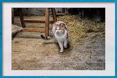 Cat at the stable (gill4kleuren - 20 ml views) Tags: pussy puss poes chat mieze katje gato gata gatto cat pet animal kitty kat pussycat poezen katze kater young people photoadd mouse moments hair eyes little jong minou gatta photo weer weather day kiity cloudy storm wind rain forcast humidity visibility colors yoga bad sky