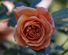 2018 Autumn rose (shinichiro*) Tags: 20181102sdim6747 2018 crazyshin sigmasdquattroh sdqh sigma1770mmf284dcmacrohsm november autumn yokohama 横浜イングリッシュガーデン rose flower macro 44571714020 4342249 201901gettyuploadesp