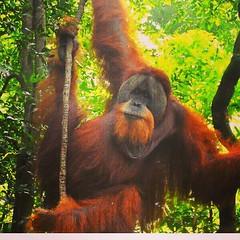 Travel tips 2019 The best place on earth to meet Orangutan in the wild.  Fantastic  2 day and one night jungle trekking tour in sumatra.  Join now for the great jungle experience  Whatsapp: +6282161735162  #jakarta #california #france #germany #thailand # (Bukit Lawang - Jungle Trekking) Tags: scotland ireland europe america thailand moskow amsterdam jakarta spain singapore rusia adventure germany france europeangirl girls sweden bali university hongkong canada california finland netherlands englandgirl campuslife australia denmark tour austria
