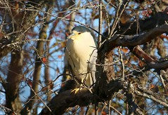 Black-crowned Night-Heron (Jewill16) Tags: heron perch tree branch reifel deltabc