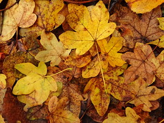 Autumn18 (236) (The-Beauty-Of-Nature) Tags: autumn fall herbst cozy mine november nature photography original leafs blätter orange brown braun red rot wet nass water wasser