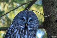 IMG_4822 (Risto Kuisma) Tags: owl trees canon finland finlande europe nature birdlife bird outdoor oksa lapinpöllö pöllö strixnebulosa greatgreyowl