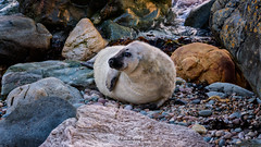 Seal Pup at Porth Saint (Mark Palombella Hart) Tags: seals sea beach angleseywales nature autumn photography photographer photooftheday potd photo