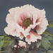Beautiful photomechanical prints of Peony (1887-1897) by Ogawa Kazumasa. Original from The Rijksmuseum. Digitally enhanced by rawpixel.