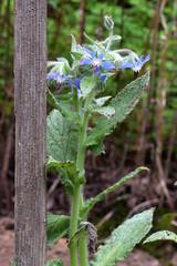 borage in bloom (ophis) Tags: boraginales boraginaceae borago boragoofficinalis borage