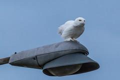 Harfang des neiges / Snowy Owl (Nadine Rhéaume) Tags: snowyowl harfangdesneiges wildlife sthubert canon birdofprey oiseaudeproie québec