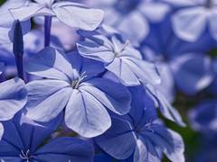 fl1 (gennaroriccio1) Tags: flowers fiori garden giardino plumbago colorful macro macrophotography macrofotografia