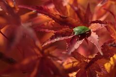green bug (Bertrand HANS) Tags: greenbug macromondays green hansbertrand 100mm macro france punaise verte nature automne vexin canon