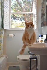 "Jimmy: ""Keep in mind--as you go through your day--that you left us for a week to go on vacation."" (rootcrop54) Tags: jimmy orange ginger tabby male bathroom sink longhaired tender funny face neko macska kedi 猫 kočka kissa γάτα köttur kucing gatto 고양이 kaķis katė katt katze katzen kot кошка mačka gatos maček kitteh chat ネコ"