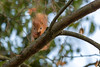 Hoernchen-2018-3482.jpg (Joachim Dobler) Tags: eichhörnchen eichhoernchen squirrel écureuil ardilla scoiattolo esquilo nature natur nagetier esquito wildlife animal cute naturephotography squirrellove wildlifephotography bestsquirrel nutsaboutsquirrels cuteanimals