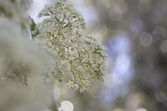 (louisa_catlover) Tags: dandenongs dandenongranges flowers white bokeh native australian karwarra karwarraaustraliannativebotanicgarden garden nature outdoor kalorama breakfastwiththebirds