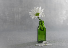 mum's the word (Emma Varley) Tags: flower stilllife indoors chrysanthemum white green grey bokeh bottle miniature