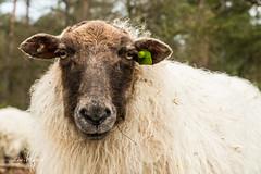 Sheep portrait (Leo Kramp) Tags: 2018 wwwleokrampfotografienl sheep accessoires leokramp loweproflipside300awii leokrampfotografie kramp drentsheideschaap gortel flickr leo vaassen gelderland nederland nl