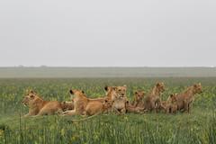The Marsh Pride back in their prime (Hector16) Tags: olareorokconservancy themara olaremotorogiconservancy kenya themarshpride kichechebushcamp lion 2013 kicheche maasaimaranationalreserve masaimara narok ke ngc