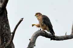 Merlin (Falco columbarius) (R-Gasman) Tags: travel bird merlin falcocolumbarius inglewoodbirdsanctuary calgary alberta canada