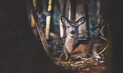 Deer in the woods (RWGrennan) Tags: woods forest deer whitetailed trees brown nature watch hide nikon d610 outdoors rwgrennan rgrennan ryan grennan tamron 150600 doe