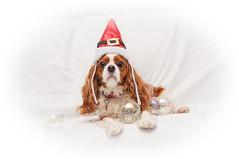Santa's Little Helper (Baker_1000) Tags: 2018 rosie dog cavalier cavalierkingcharlesspaniel spaniel christmas santa autumn nikon d90 nikond90 raw
