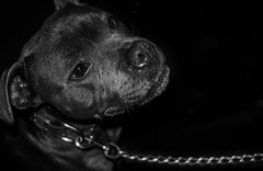 Staffy. (CWhatPhotos) Tags: cwhatphotos digital camera photographs photograph pics pictures pic picture image images foto fotos photography artistic that have which with contain leamington spa warwickshire weekend away olympus four thirds 43 royal royalleamingtonspa dod staffy staffie staffordshire bull terrier pet dog black flickr