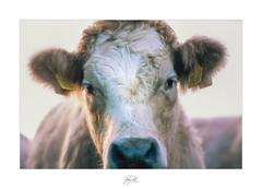 I trust you now.. (AnthonyCNeill) Tags: cow kuh vaca vache farm animal tier closeup outdoor fujifilm 35mm transparency positive e6 film slidefilm nikon f3