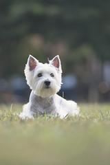 西高地白㹴 West Highland White Terrier-Sunday (Sam's Photography Life) Tags: 西高地白㹴 西高地 白㹴 west highland white terrier dog pet 狗 白狗