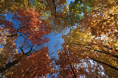 Autumn Zenith (Notley Hawkins) Tags: park httpwwwnotleyhawkinscom notleyhawkinsphotography notley notleyhawkins 10thavenue tree trees texture foliage color colors autumn fall forest columbiamissouri capenpark boonecountymissouri 2018 october canopy sky lookingup up zenith