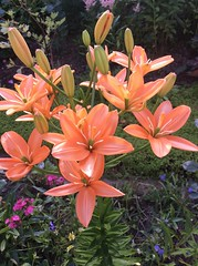 Lilium (nature flora and fauna) Tags: lilium flowers nature summer