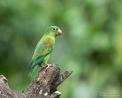 Orange-chinned Parakeet - Brotogeris jugularis (rosebudl1959) Tags: 2018 costarica orangechinned parakeet launionguapiles