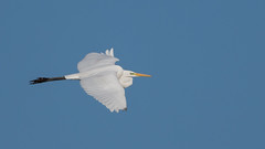 Great egret (JS_71) Tags: nature wildlife nikon photography outdoor 500mm bird new autumn see natur pose moment outside animal flickr colour poland sunshine beak feather nikkor d7500 wildbirds