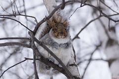 Écureuil gris, grey squirrel,  Québec - Canada - 8667 (rivai56) Tags: écureuil gris prêt pour lhiver écureuilgris greysquirrel québec canada cute this squirrel