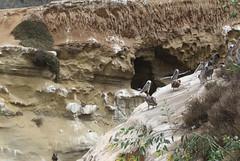 scogliere di La Jolla - San Diego (raffaele pagani) Tags: lajolla lajollacove sandiego california unitedstates spiaggia beach leonimarini sealions foche seals pelecanusoccidentalis pellicanobrunodellacalifornia uccellodimare californiabrownpelican seabird animali animals canon