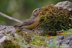 Crciere _006 (Rolando CRINITI) Tags: crociere uccelli uccello birds avifauna ornitologia montebaldo natura