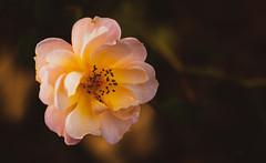 Autumn rose ... (Julie Greg) Tags: autumn autumn2018 nautre nature rose colours light canon park kent england details