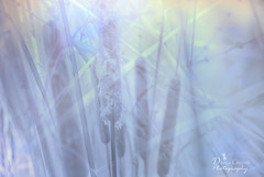 A Summer Yet to Come (donna.chiofolo (on and off)) Tags: nature mood atmosphere light colors doubleimage dream summer warm poetry poetryinnature nikon outdoor travel time cattails fields walk texas textures soft