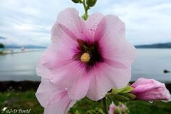 Rose trémière-019 (Jean-Daniel David) Tags: fleur rosetrémière grosplan closeup macro mauve lac lacdeneuchâtel eau ciel nuage berge verdure bokeh plage yverdonlesbains suisse suisseromande vaud rosée