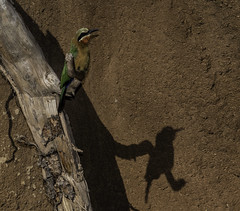 The Bee-Eater - Me And My Shadow (Bill Gracey 22 Million Views) Tags: bird beeeater colorful africarocks sandiegozoo oncameraflash color nature avianphotography nikonsb700 shadows shadow whitefrontedbeeeater